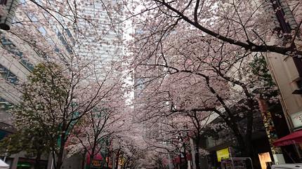 Sakura_toori