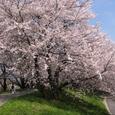 柳津堤防の桜