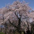 しだれ桜 横