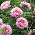 牡丹ピンク沢山の花