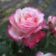 ミニバラ 白にピンク