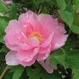 牡丹ピンク1