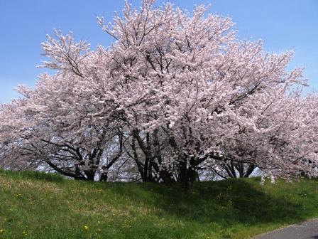 柳津堤防の桜1