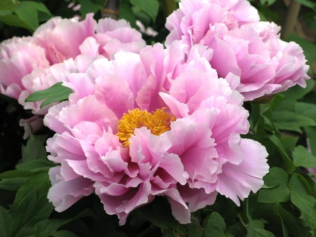 牡丹八重ピンク