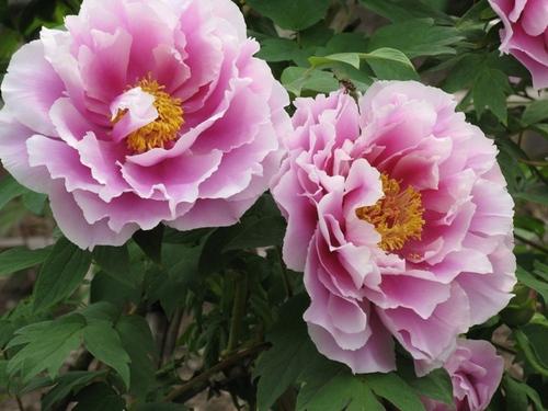 牡丹ピンク横2