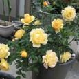 お庭で育てるバラ