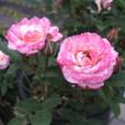 ミニバラ 白とピンク