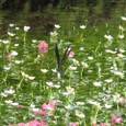 梅花藻ととんぼ