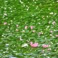 梅花藻とさるすべりの花びら
