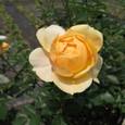 お庭で咲くばら