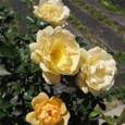 お庭で咲くバラ