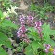 高山植物 ヨツバシオガマ