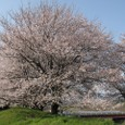 さくらの大木